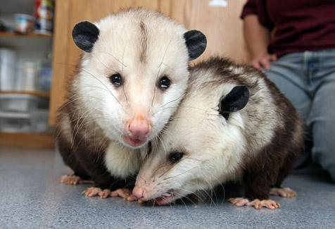Two rescued opossums