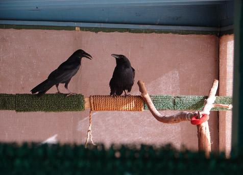 Two ravens being rehabilitated in captivity before being released to the wild
