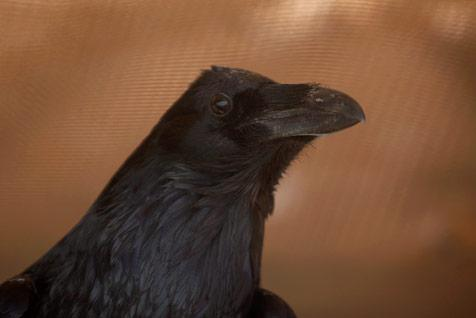 Raven being rescued at Best Friends Animal Sanctuary