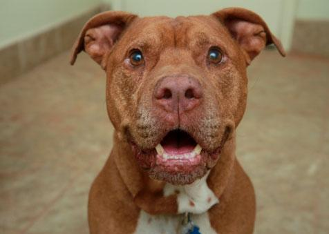 Screech the adopted pit bull terrier