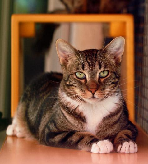 FeLV-positive cats like this tabby can suffer from people's misconceptions about feline leukemia