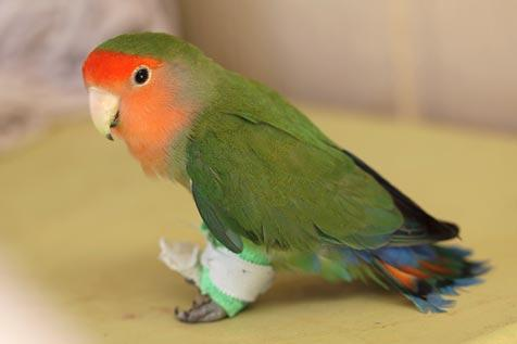 Lovebird with bandaged splayed legs
