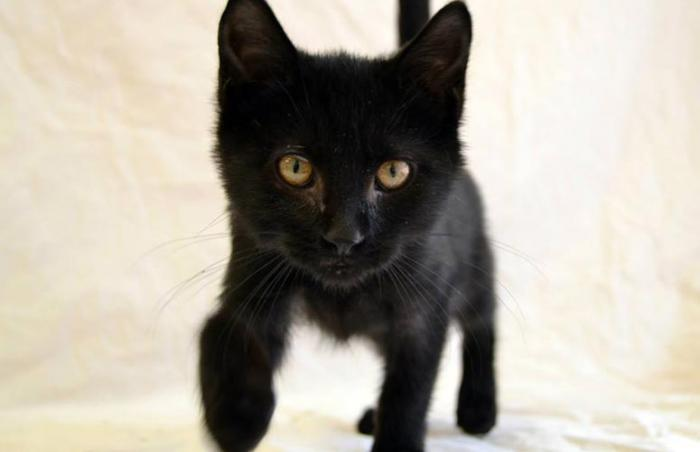 black kitten walking towards camera