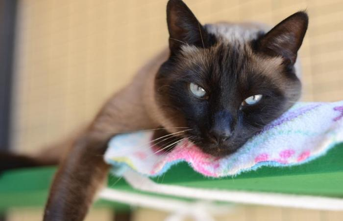 Spencer the Siamese cat tested positive on one feline leukemia test and negative on the other