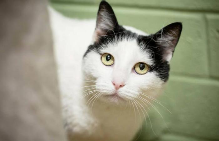 Buffy the white cat with black markings on her head from St. George Animal Shelter