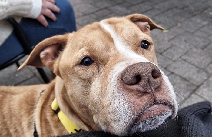 Tank the pit bull terrier mix dog who was rescued during Superstorm Sandy