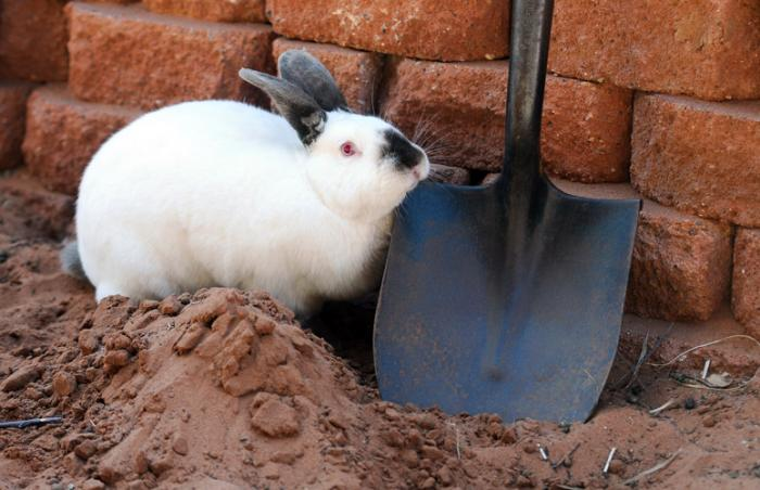 Overweight rabbit Trixie loves to dig