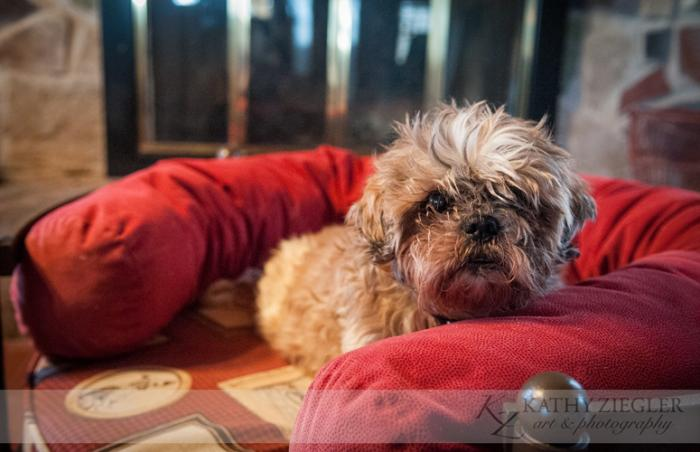 Howie the 12-year-old shih tzu mix who was moved from New Mexico to Tennessee