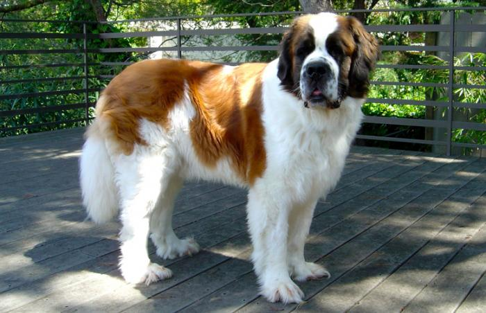 Joey the St. Bernard