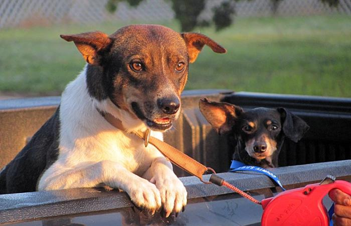 Two dogs who were neutered by the Wharton County Stray Pet Outreach Team (SPOT) in Wharton County, Texas