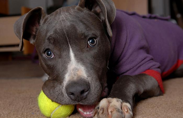 Pit bull dog adopted from a Watertown, Wisconsin, animal shelter after BDL was struck down