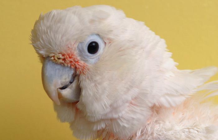 Houdini the cockatoo