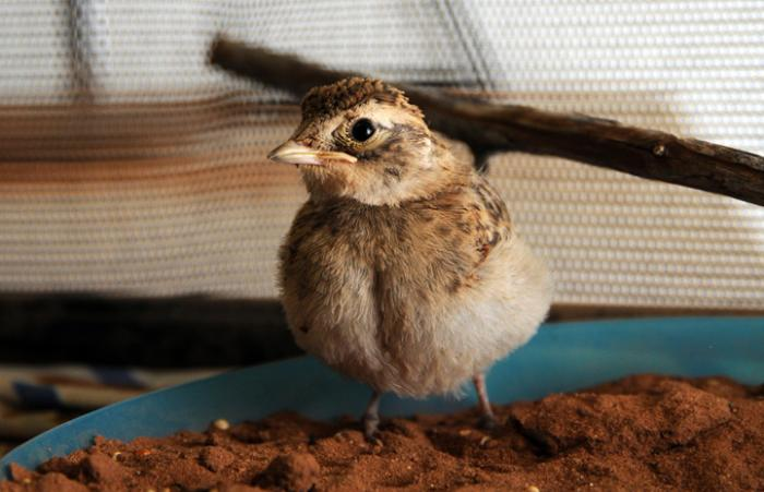 The horned lark was released once ready to go