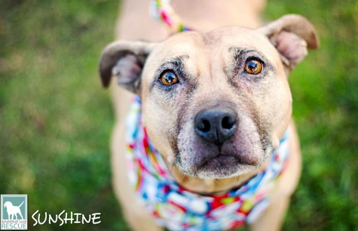 Sunshine, a shy former breeding dog who spent her life tied to a stake