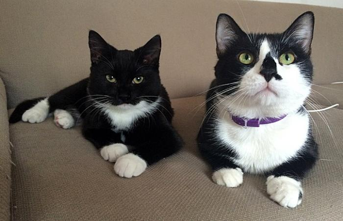 Karl and Yoyo, the tuxedo cats Chris Arzoomanian fostered and then adopted