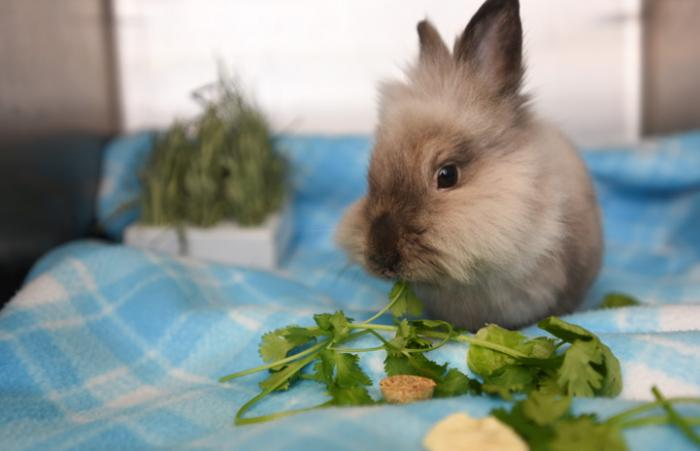 Meriwether the dwarf Lionhead rabbit eating some cilantro