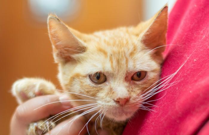 Pooh Bear the kitten with neurological issues finds a home for the holidays