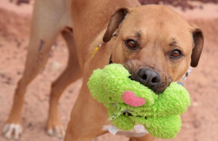 Pit bull dog who recently passed her Canine Good Citizen test at Salt Lake County Animal Services holding a stuffed toy