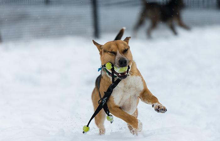 Dog with a ball in her mouth playing in the snow at the Sanctuary