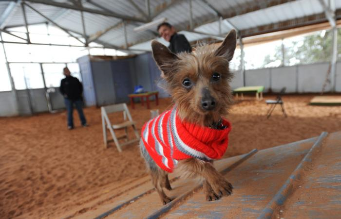 Milky Way the Yorkshire terrier on the agility course