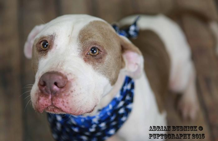 Betty a pit bull terrier in Nashville with canine heartworm