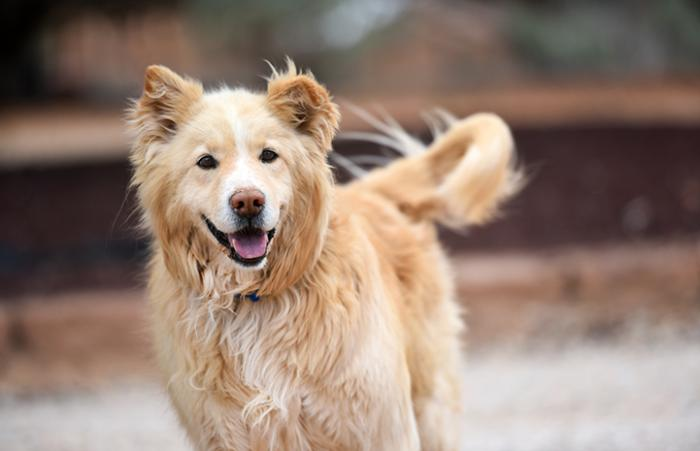 Bodin the nine-year-old golden retriever mix who received help for food guarding