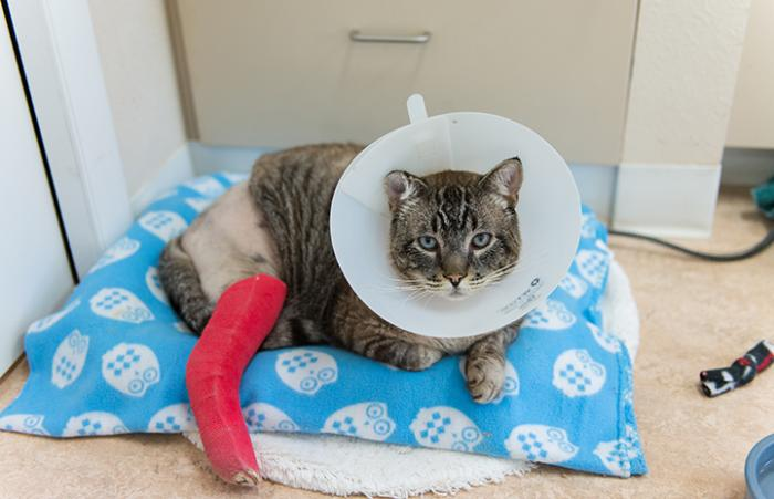 Leopold the Siamese mix cat overcomes a leg injury