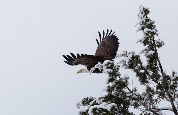 Bald eagle flying, wild and free, in the winter