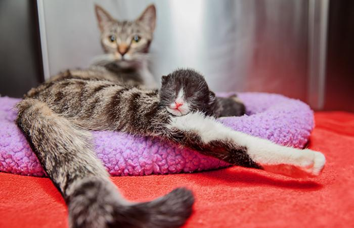 Mama cat and kitten from the first 2016 litter in Los Angeles kitten nursery