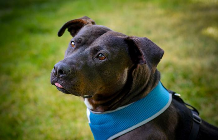 Geneva, the black Labrador retriever and pit-bull-terrier mix, who has with collapsed trachea symptoms