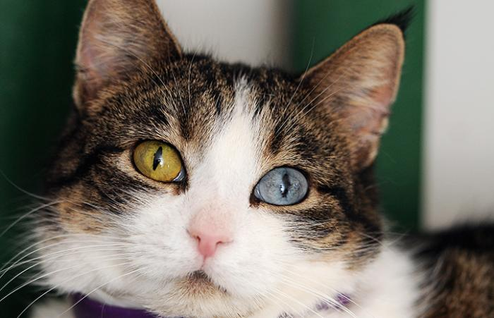 Amelie the cat, who has one green and one blue eye, is available for adoption.