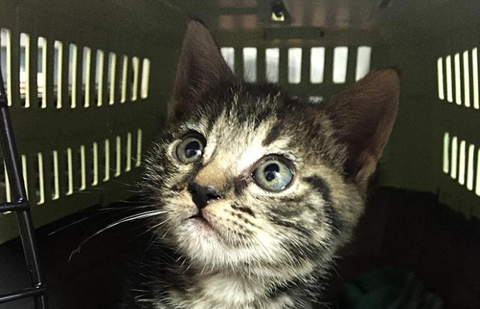 Hailey the kitten saved through the Safe at Home program