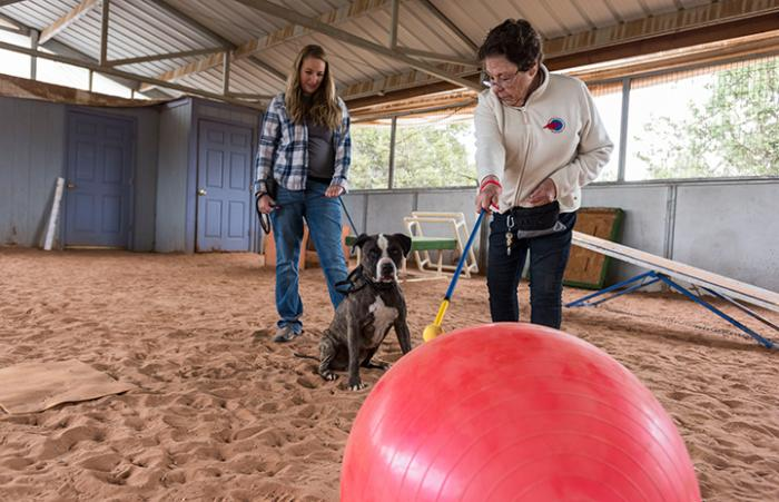 Sherman the American Staffordshire terrier mix getting Treibball training from Dianna Stearns