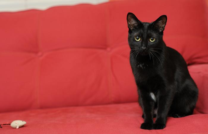 Olivia the black cat is available for adoption