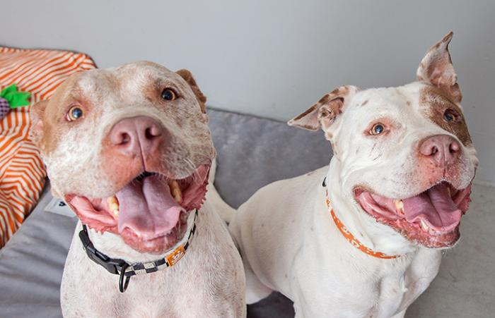 Mia and Bailey Bear the pit bulls while they were looking for a new home