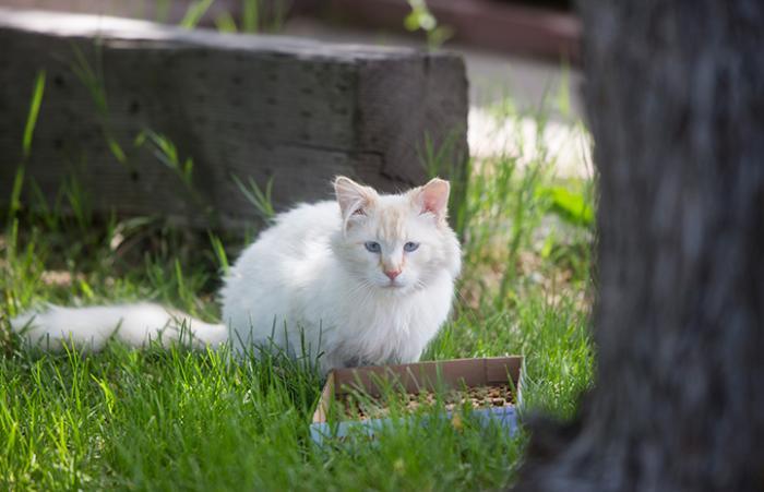 Ear-tipped community feral cat