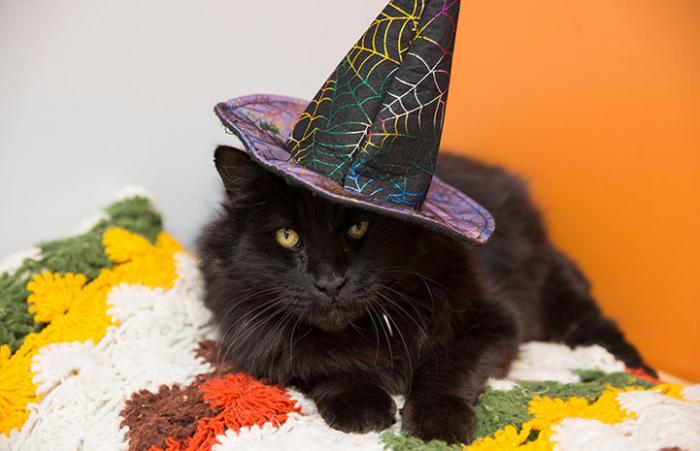 Black cat dressed up as a witch for Halloween