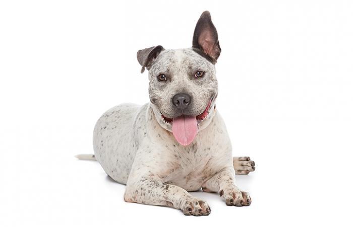 Pogo the deaf pit bull terrier