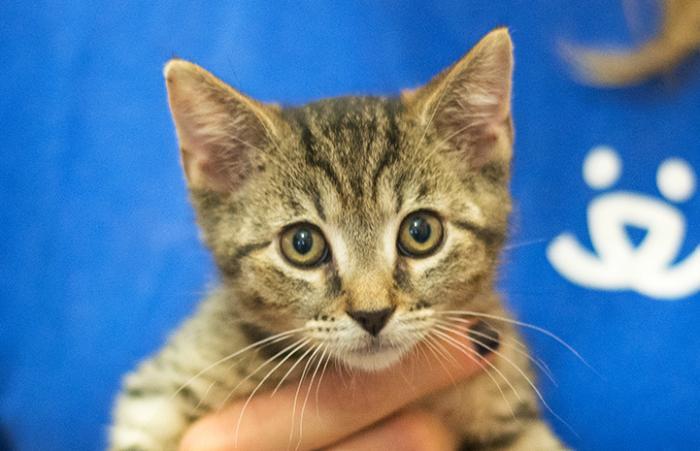 Tabby kitten being held by a volunteer