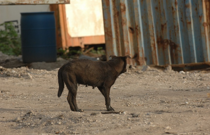 Stray pregnant dog on the Navajo Nation land