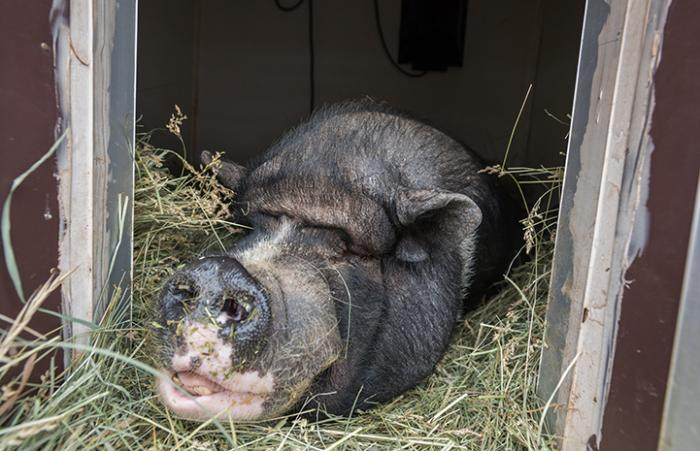 Teddy the potbellied pig enjoys special five-star winter accommodations