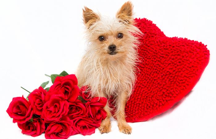 Jinxy the dog posing with red roses and a heart for Valentine's Day