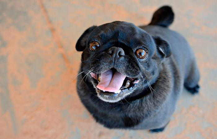 Reagan, a black pug smiling up at the camera