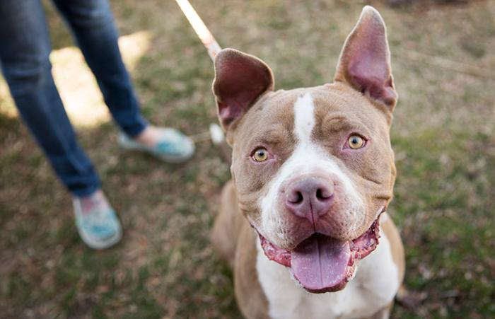 Brown and white pit bull terrier smiling at the camera