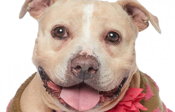 Roomba the pit bull terrier mix is now all smiles