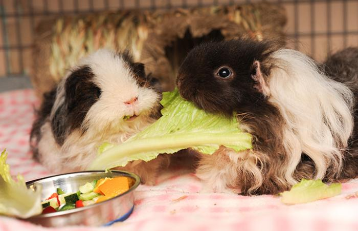 Pair of guinea pigs eating some lettuce together