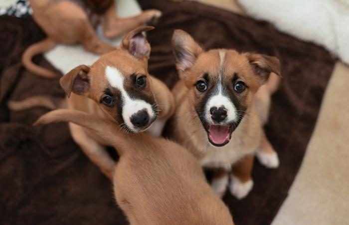 Litter of tri-color puppies
