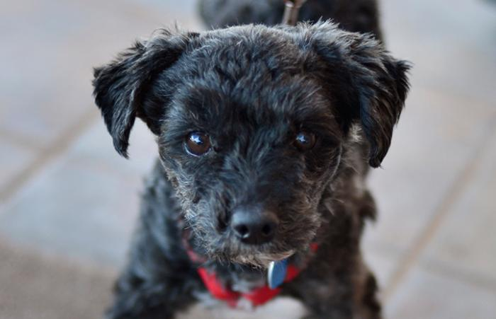 Harriet the shy, injured poodle mix