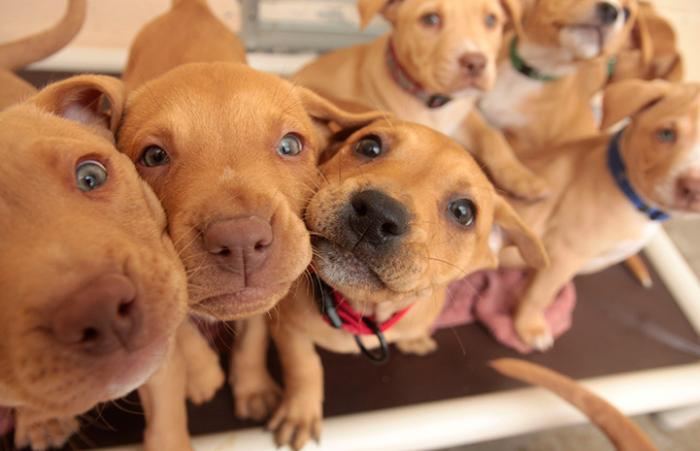 Litter of brown puppies