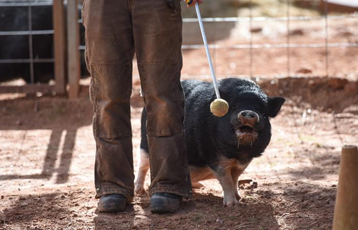 Moe the potbellied pig receiving target stick training